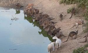 Kangaroos and sheep at waterhole