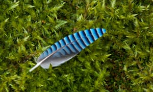 A jay feather