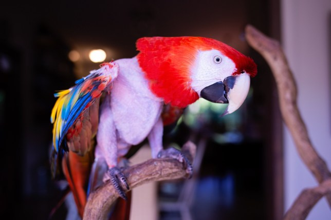 Pic By Abby Lamb Mathews / Mercury Press (PICTURED: Sweet Pea the adopted 23-year-old macaw Florida. ) - A mum was shocked after adopting an unwanted parrot and discovering its previous owners must have gone through a divorce - as it swears and screams Ive got bills to pay. Abby Mathews, 40, adopted 23-year-old macaw Sweet Pea in October last year - but soon discovered the cheeky bird re-enacts her former owners painful breakup by yelling rude insults at her new family. Married mum-of-two Abby, from Florida, said the grumpy parrot has spent the last four months swearing at kids Beatrice, 10, and Bella, seven, calling them f*cker and a*shole. But the family love their naughty pet bird and have no plans to rehome her.- SEE MERCURY COPY