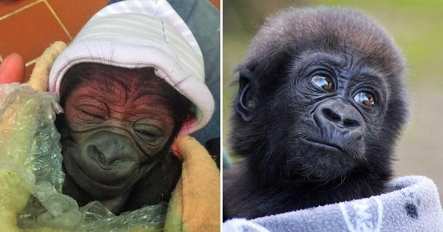 gorilla baby yaounde