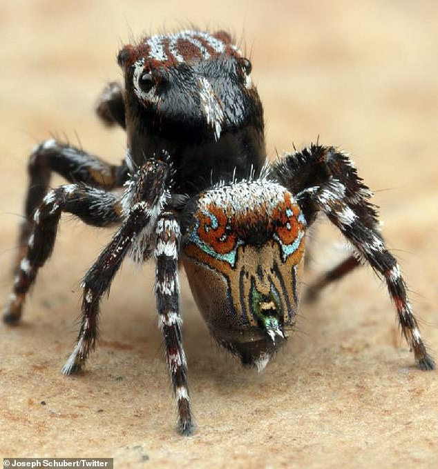 'These little guys are completely harmless,' spider taxonomist Joseph Schubert said. Pictured is the Maratus aquilus, named for its eagle like markings on the abdomen
