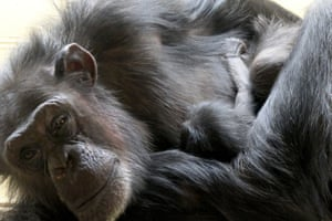 Undated handout photo issued by Royal Zoological Society of Scotland (RZSS) of the new baby chimpanzee, with mother Heleen, that was born at Edinburgh Zoo on Monday February 3.