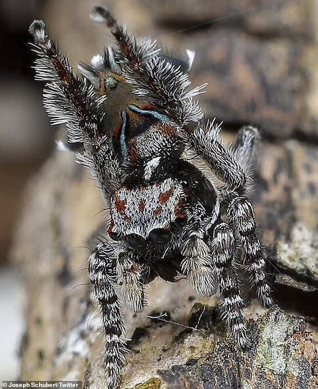 The new species call Western  Australia's south-west home. Pictured is the Maratus combustus
