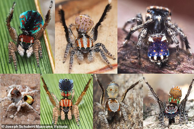 The spider, which has similar patterns to 'Starry Night,' is Maratus constellatus (top right) and was discovered in Western Australia, along with four other colorful species — Maratus azureus (second on the bottom), Maratus inaquosus (third on the bottom), Maratus volpei (bottom left) Maratus laurenae, Maratus noggerup (top left) and Maratus suae (middle at the top)