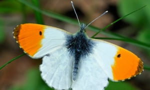 Orange-tip butterflies enjoy the nectar of native British garden flowers.