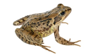 The common frog will be among amphibians laying their spawn in garden ponds.